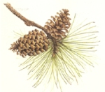 Here's to the long-leaf pine